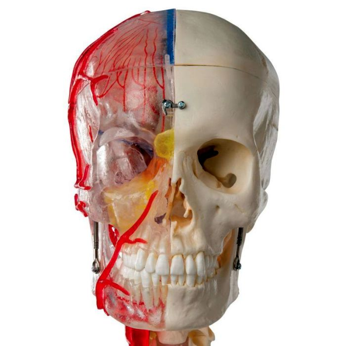 3B Scientific® System Skull - Didactic Deluxe Skull, 7-Part