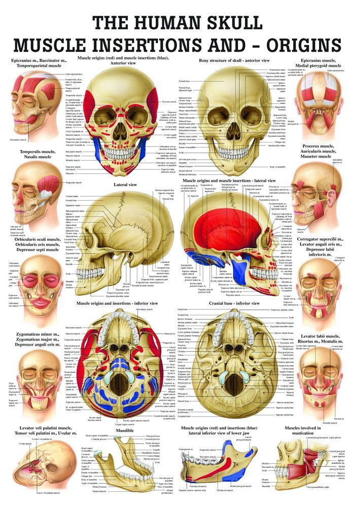 Skull - Muscle Insertions and - Origins, englisch, 70x100 cm, Papier