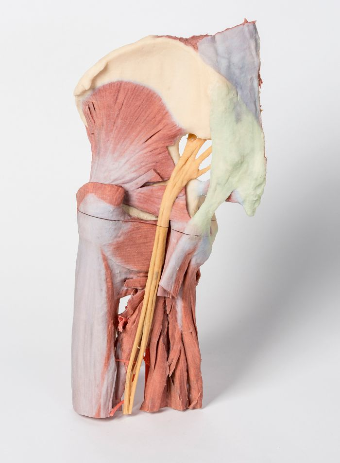 Lower Limb - deep dissection of a left pelvis and thigh