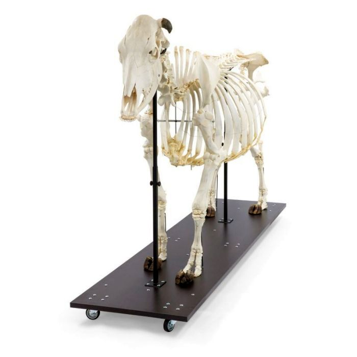 T300121w, 1020974, Bovine skeleton Bos taurus , with horns, articulated