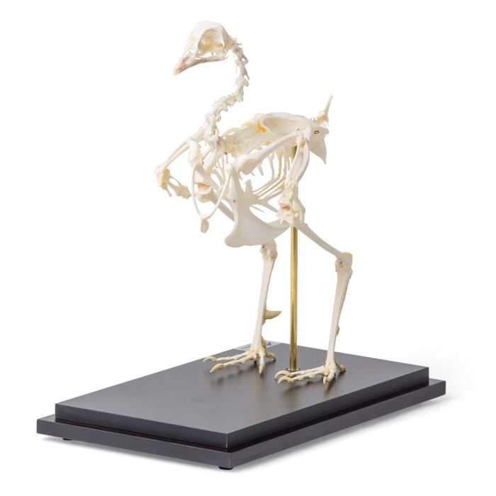 Pheasant skeleton (Phasianus colchicus), articulated