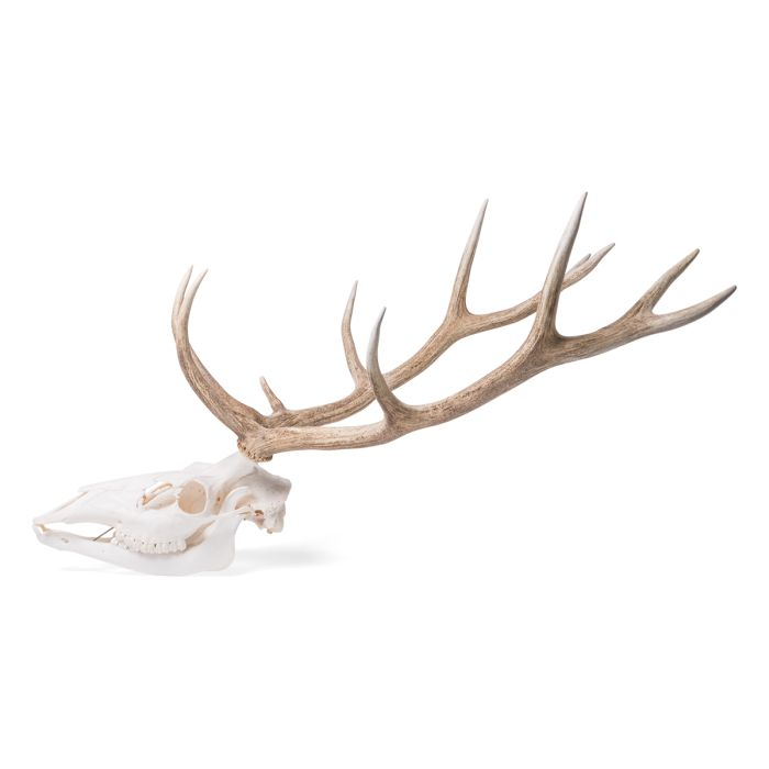 Red Deer skull (Cervus elaphus), male